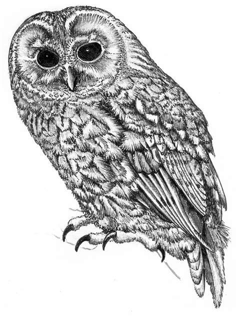 Tawny Owl   These illustrations are by my father, I have