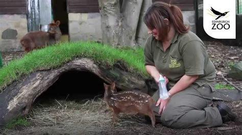 Keepers Step in to Hand Rear Little Pudu Fawn at Edinburgh