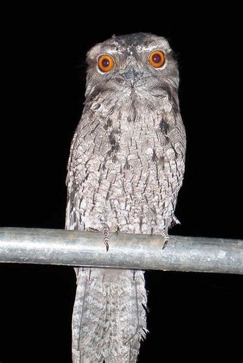 Marbled Frogmouth (Podargus ocellatus)
