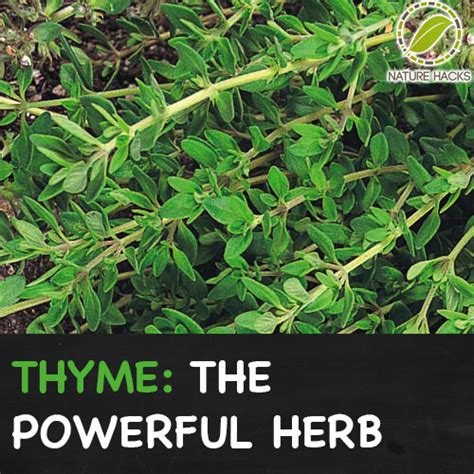 Thyme - A Powerful Herb Growing in Many Gardens