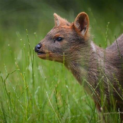Pudu | Meet Our Animals | Plan Your Visit | Chester Zoo