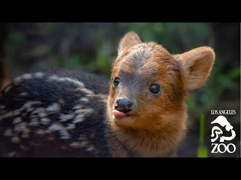 On Location: The Southern Pudú - YouTube